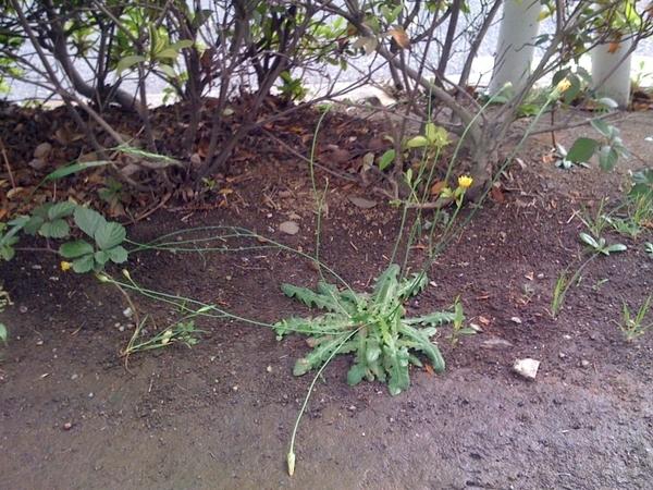 通常より茎を伸ばして咲いているタンポポ。場所は横浜市都筑区。何枚か連投します。 #nuclear #genpatsu #dandelion