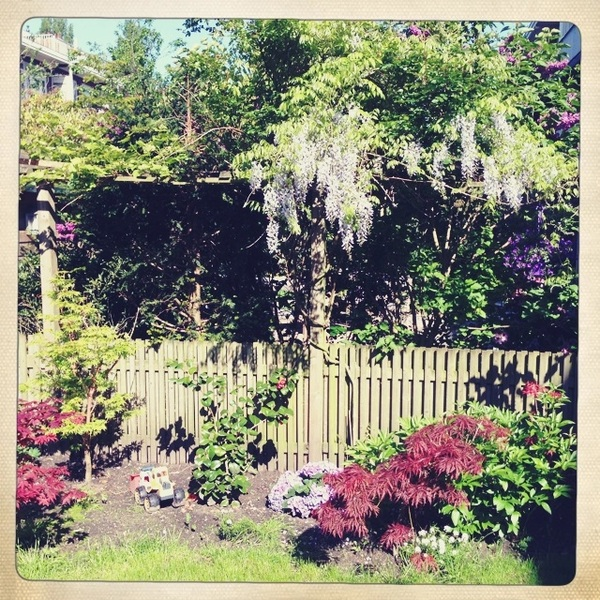 My wisteria is blooming