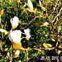De Knoppen van de Magnolia springen open op deze Zonnige Zaterdagmorgen 25 Maart in Beverwijk. #buienradar