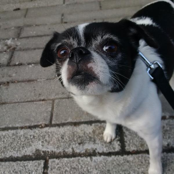 Suki smells the #weekend! #TGIF #friyay #sillygirl #cutie #leashandpaws #dogwalking