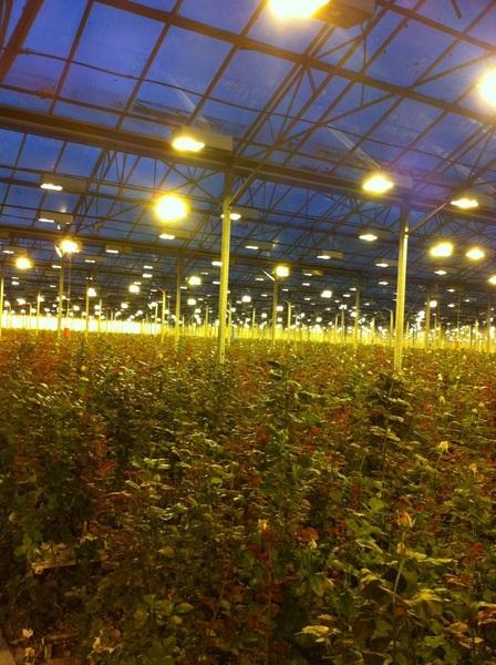 .. Is op klantbezoek bij een vd grootste rozenkwekers van NL. Per dag 230 duizend rozen! #indrukwekkend