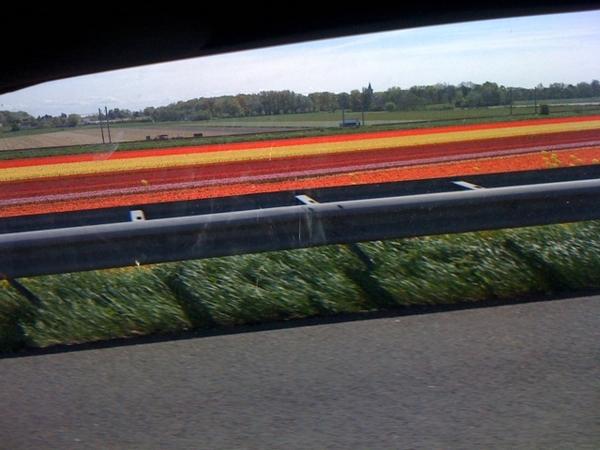 Flowerfields along the highway