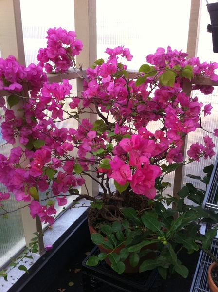 What a glorious sight to find this glorious, full-bloom Bougainvillea in my little greenhouse