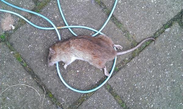 Soms ben ik zo blij dat we geen kattenluik hebben. #ratgevangen
