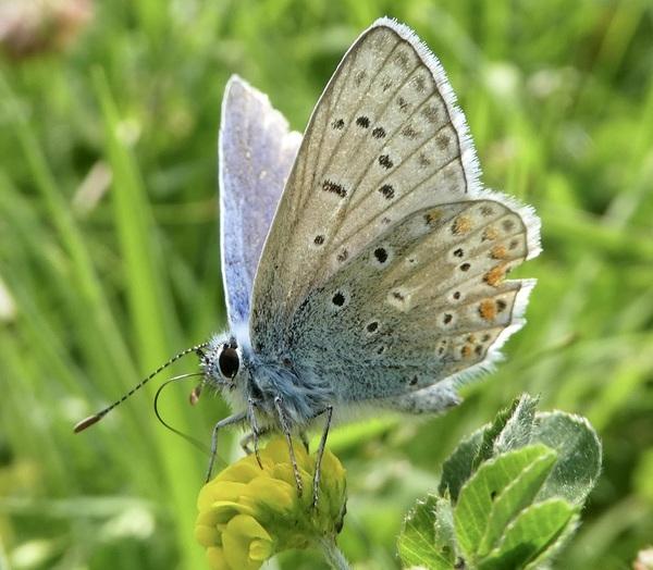 Icarusblauwtje #buienradar