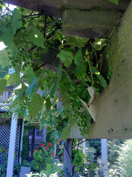 We lost a lot of grapes in last week's hail storm, but most--like these beauties--are doing great.