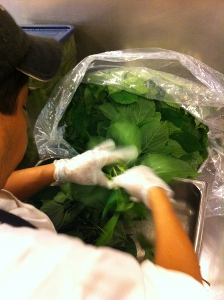 Celestino cleaning nettles from Spence Farm for dinner service.