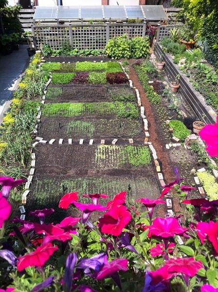 My backyard salad greens production garden taken from balcony. Shot over trailing petunia boxes