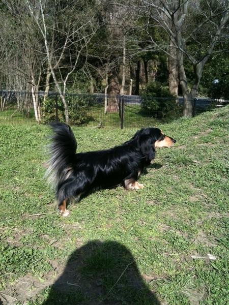 水元公園ドッグランなう。今まで見た事がないくらい人が多いw。同じ犬種でかたまる不思議。バートンの尻尾も絶好調!