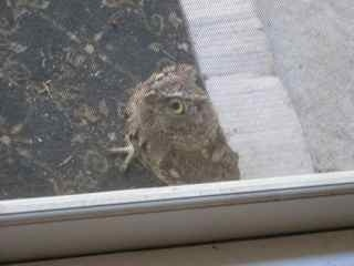 Close-up of #owlet . Yeah, indoor cats = right decision. #owls