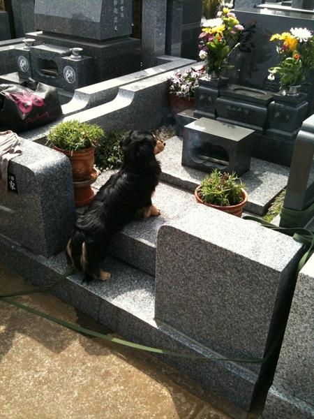 お彼岸ということで、バートンも連れて墓参り。ロングリードを墓誌に巻いて、つないでいたけど。。。じっとしているわけないな。お墓にもリードフックがあると便利だね。