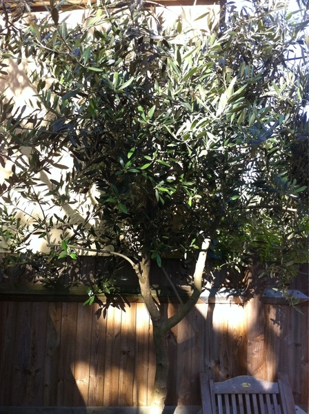 @An_Irish_Brit  As promised, olive tree photos!