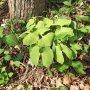Twinleaf, Jeffersonia diphylla — never seen it before! #notyetinflowrr