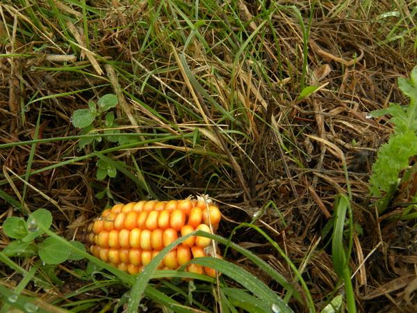 Maïs in de berm #buienradar