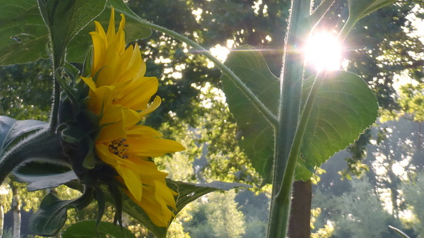 Mijn eerste zonnebloem dit jaar , MET de zon op 25 juni 2014 #buienradar
