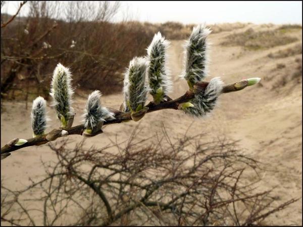 Pluusdoddetjes #lente #lovezeeland