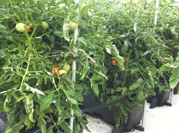 These are Early Girl tomatoes that are ready