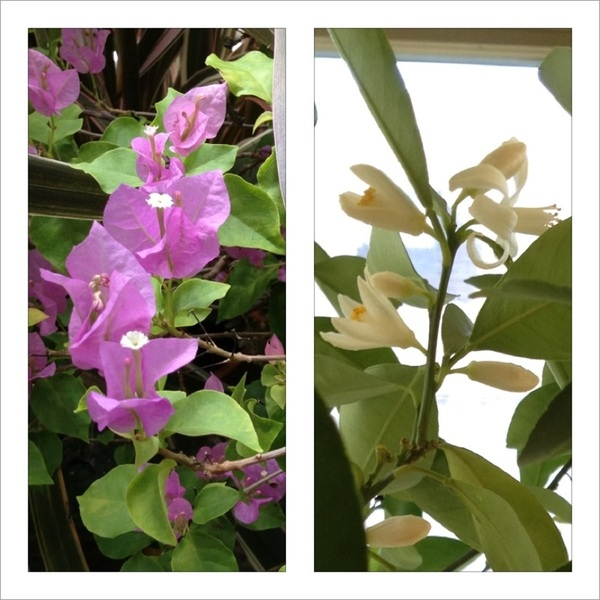 My greenhouse is a riot of colors/smells this morning!  Calamondin orange in bloom (like jasmine) & pink bougainvillea