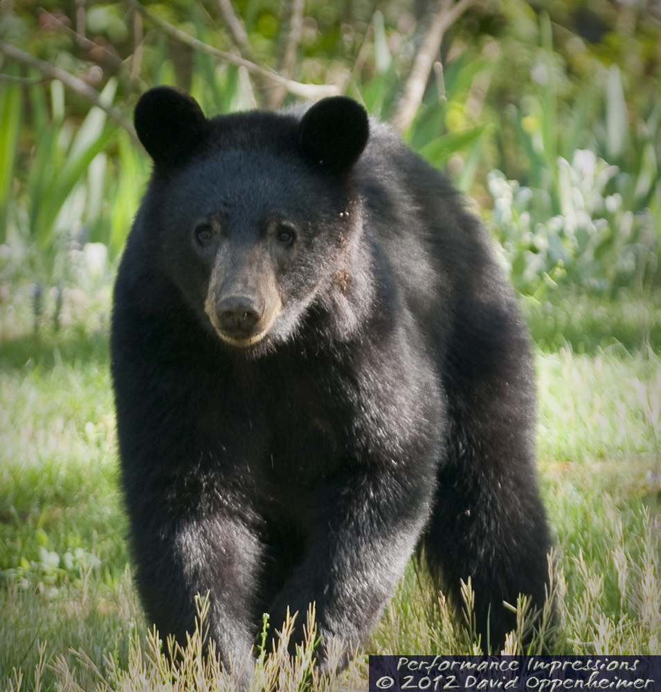ursus americanus the north american black In north america, the black bear (ursus americanus) is the most common species of bear it is native to the continent and ranges from northern alaska to mexico.
