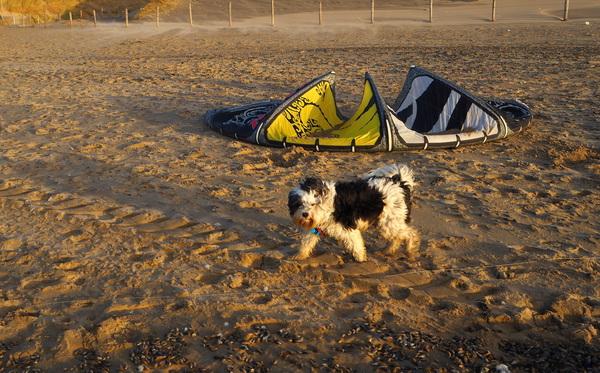 De Zilk , er gaat gesurfd worden en deze hond rent mee langs de vloedlijn . #buienradar