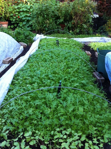 Back at home: the weather has been so warm that the mizuna for Topolo salad is growing incredibly in my backyard.